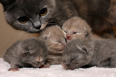 Kitty Family ( Jo ) Tags: family cute fur kitten sweet kittens siblings britishshorthair babycat bluecream eyesopen blueself canon40d jofisher havenhouse lilactortie 8dayoldkitten