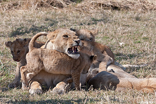 Lioness with Cubs, Moremi GR - Botswana