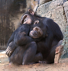 Hugs (Twitchietai) Tags: africa 2 hairy black cute love chimp sweet c teeth warmth ape macaco hugs chimpanzee endangered fangs embrace primate apes tender chimps tenderness aap losangeleszoo intelligent primates  singe affe instinct brow simio schimpanse chimpanzees omnivorous  pantroglodytes chimpansee opposablethumb scimmia chimpanz   flickrsbest scimpanz    tartyshots    ispysweepwinner hctinhtinh  tsimpanse