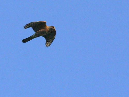 Coopers Hawk 20090128