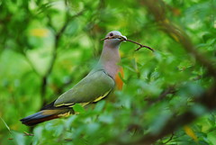Moving next door.. (pranav_seth) Tags: tree green bird parenthood nature wonder ilovenature wings singapore nest dove parent twig winged builder nestbuilding slbnestbuilding
