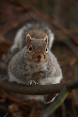out on a limb (felt_tip_felon) Tags: portrait tree rodent squirrel branch surrey whiskers limb ubn reigate priorypark ar1