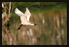 Royal Spoonbill, Lawrence, NE NSW, 10.1.09d (Callocephalon Photography) Tags: bird flying lawrence australia waterbird nsw egret rookery spoonbill thousands clarencevalley royalspoonbill platalearegia altercation abigfave sigma50500mmf463 canoneos40d egretrookery nensw vosplusbellesphotos slbflying slbwading
