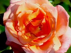 Peach rose (House of Hall) Tags: christchurch monavale