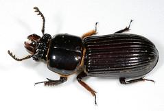 Bess Beetle--tunneling machine