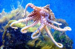 (Jesús Gutiérrez Gómez) Tags: parque aquarium octopus acuario pulpo medellín explora cruzadas abigfave platinumphoto