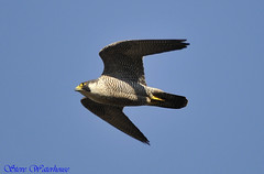 Adult male peregrine falcon (spw6156) Tags: copyright male lens hand adult steve iso 400 falcon cropped mm 500 held 13 nationaltrust rd raptors waterhouse peregrine plymbridge cannquarry spw6156 stevewaterhouse plymperegrineproject plymbridgeperegrinefalcons copyrightstevewaterhouse