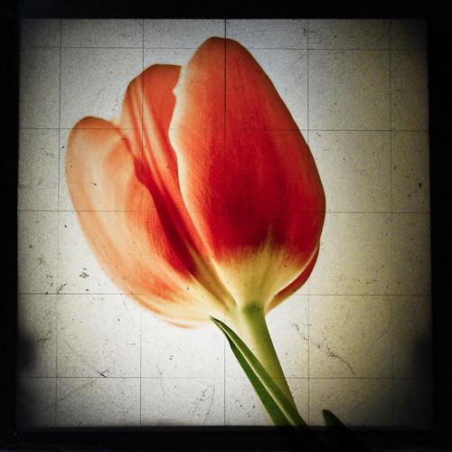 ttv tulip2
