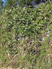 Common moth vine (Araujia sericifera) Original = (2579 x 3411)  TASI (turdusprosopis) Tags: apocynaceae gentianales araujia asclepiadoideae floraargentina araujiasericifera apocinceas plantasargentinas plantasdeargentina plantasautctonasargentinas plantasautctonasdelaargentina floraautctonaargentina floraautctonadeargentina plantasnativasargentinas plantasnativasdeargentina plantasnativasdelaargentina floradelaargentina floradeargentina plantasautctonasdeargentina floraautctonadelaargentina  floranativabrasileira floranativadobrasil floradobrasil argentineindigenousplants whitebladderflower araujiasericiferabrot commonmothvine cruelvine oxypetalinae   apocynceas