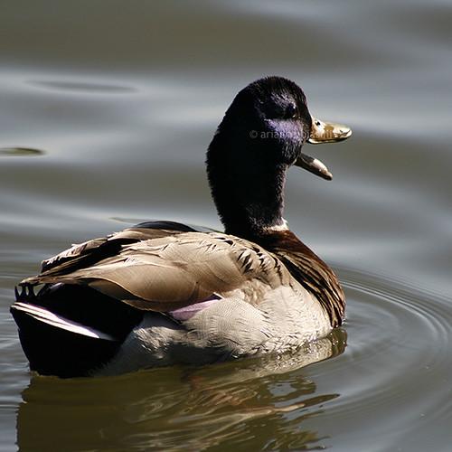 Quacking #1