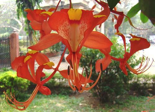 Mumbai - Rare Flora - Amherstia Nobilis