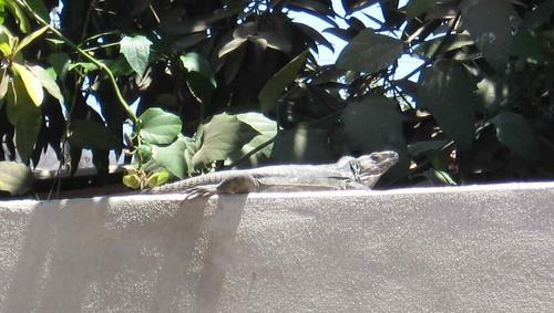 Wanna iguana?