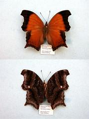 Rhinopalpa polynice