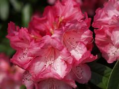 strawberries and cream (werewegian) Tags: pink red white flower gardens glasgow olympus rhododendron botanic azalea apr09 werewegian photoaday2ndchoice