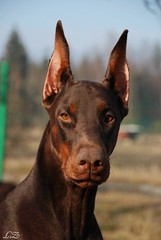 Campary (Liisaz88) Tags: portrait brown face nikon land dobermann flox campary legrant