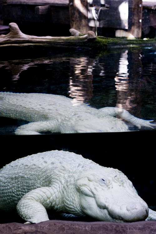 White Gator.