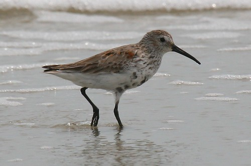 Synonyms of Red-backed Sandpiper. dunlin, erolia alpina