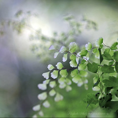 Sunday ferns in light tropical breeze - A perfect day. (Ingrid Douglas Images - ART in Photography) Tags: ferns tropicalplants maidenhairferns greenfoliage bokehlicious australianfemalephotographers canonmacro100mmf28 perfectoarts vosplusbellesphotos canon5dmarkii ingridinoz softfoliage
