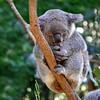 ~ What A Koala Life !!! ~ (Peem (pattpoom)) Tags: nature nikon wildlife australia koala coala หมี d700 theunforgettablepictures theperfectphotographer tup2 vosplusbellesphotos nikkorafs2470mmf28ged ออสเตรเลีย