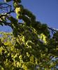 Fruit - Weeping Wych Elm (Dominic's pics) Tags: blue sun sunlight green nature leaves gardens spring estate blossom royal prince bluesky seeds bloom pavilion lit sunlit elm weeping regents elms glabra fecund ulmus wych ulmusglabra copious horizontalis blossomlike ulmusglabrahorizontalis weepingwychelm weepingwych