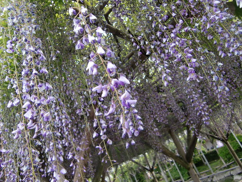 wisteria flowers (by HAMACHI!)