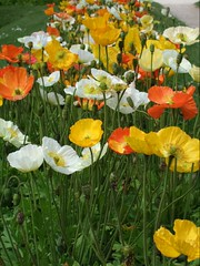 Poppies in Botanical Gardens