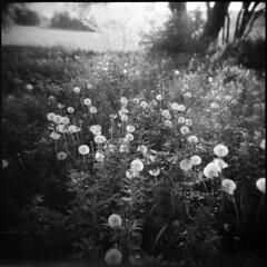 bulbs (sempull_tampush) Tags: holga kodak dandelions tmax100 120n unerázkao