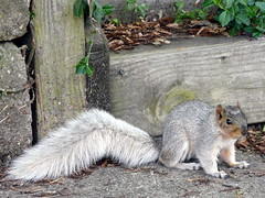 Squirrel Shots (chippewabear) Tags: white rodent squirrel whitesquirrel