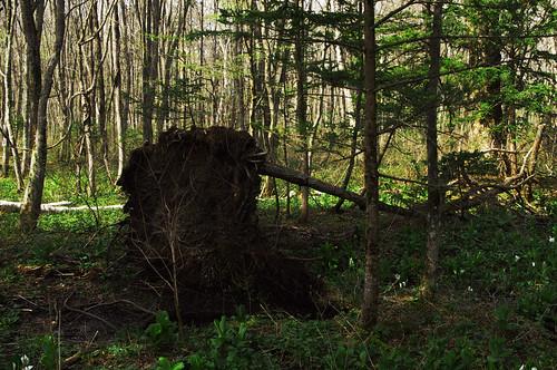 200905101346風倒木
