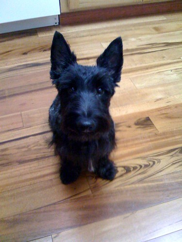 Scottish Terrier mixes...