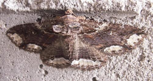 Moth, ID Pending