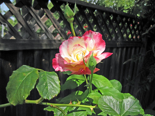 Garden- Pinky Rose