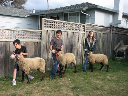4 4h sheep