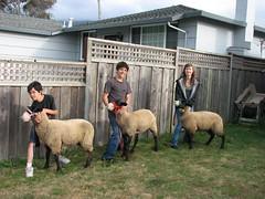 4H Sheep