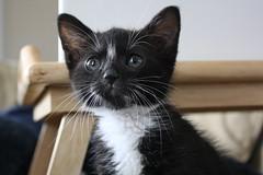 Jinx (cmcgough) Tags: cats georgia tuxedocats kittens jinx