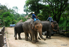 Maesa Elephant Camp, Chiang Mai Thailand