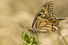 papilio machaon (traso) Tags: macro 180 tamron farfalla papilio 30d naturesfinest papilionidae papiliomachaon machaon macaone canon30d tamron180 naturesjewels macromarvels topmacro ahqmacro primemacro
