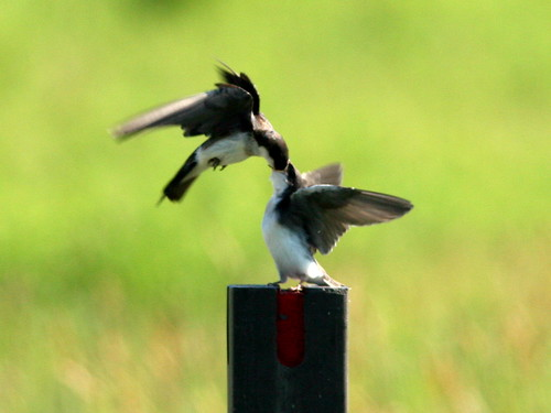 Tree Swallow Feeding Young