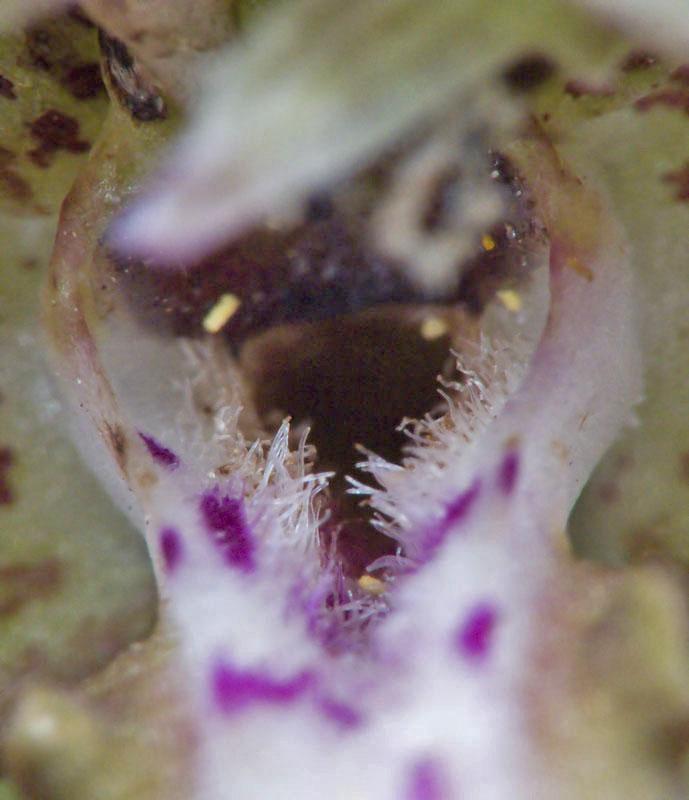 Himantoglossum hircinum (sous le casque) 3651742103_efdec5fd4c_o