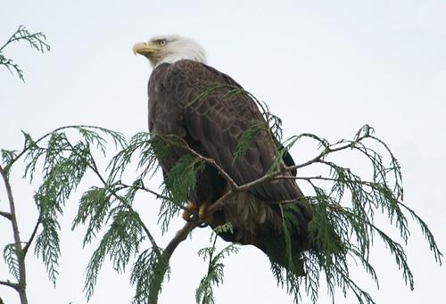 canada bc eagle britishcolumbia baldeagle centralcoast haliaeetusleucocephalus shearwaterresortandmarina
