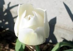 Tulip_42210c