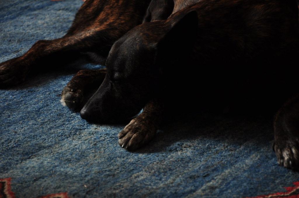 hondopblauw