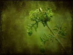 LIGHT for Truusje (aenee) Tags: fern green texture love groen mothersday liefde moederdag varen aenee pareeerica joessistah truusje
