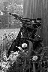 forgotten bicycles (GU-JO) Tags: old alt nettle garten fahrrad verlassen brennessel pusteblume blowball