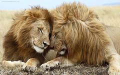 Brotherly Love - Lions Desktop Wallpaper (Free Screensavers) Tags: desktop wallpaper reflections scenic free screen lions savers screensavers