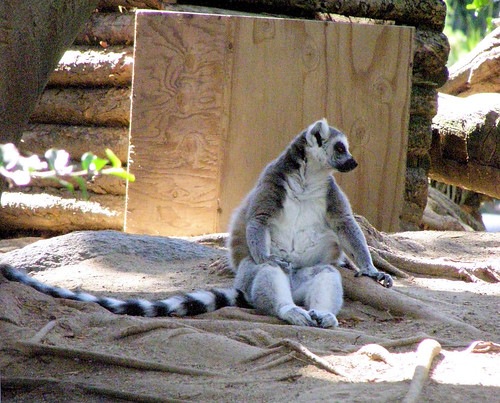 San Diego Zoo Safari Park - Ring-tailed Lemur