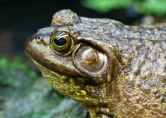 "Van2011 - aquar - toad head • <a style=""font-size:0.8em;"" href=""http://www.flickr.com/photos/30765416@N06/5802923843/"" target=""_blank"">View on Flickr</a>"