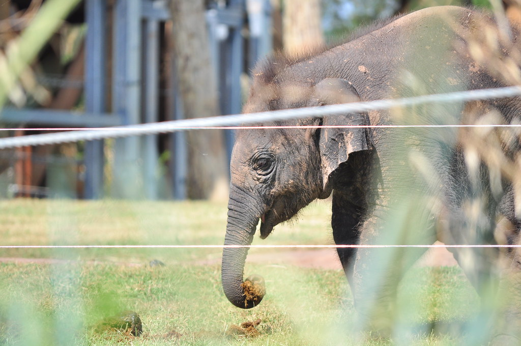 Malee the Baby Elephant