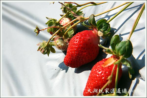 090117_03_採草莓