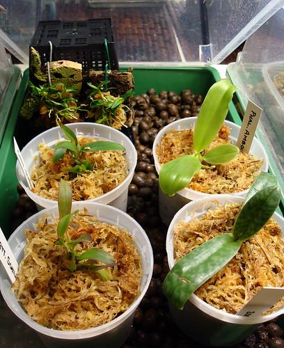 uk_kull-0Flask babies: Cattleya schilleriana, Dendrobium cyanocentrum, Paphiopedilum bellatulum, Phalaenopsis amboinensis